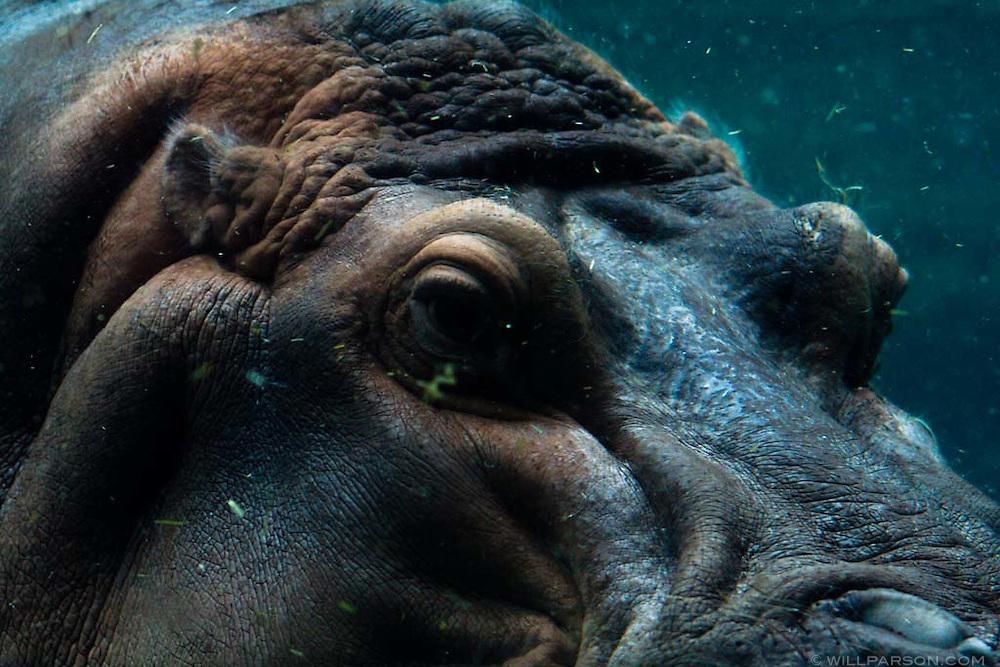 A hippopotamus at the San Diego Zoo