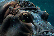 A hippopotamus at the San Diego Zoo