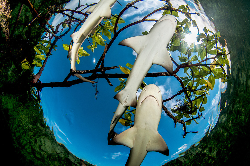Baby lemon sharks have been shown to exhibit distinct, individual personalities. Some even form friendships. Studies have shown the little sharks will spend more social time with other individuals and can even learn from each other.