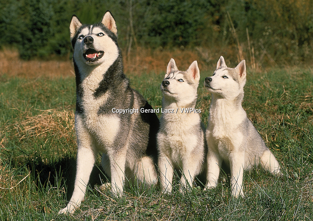 SIBERIAN HUSKY DOG, FEMALE WITH PUP SITTING ON GRASS