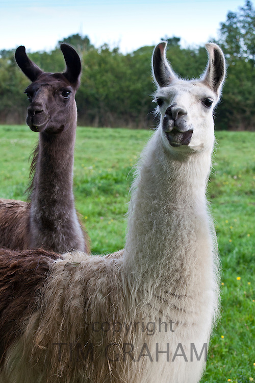 Pair of adult llamas, one male one female, at Ferme de l'Eglise, Normandy, France