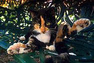 """USA, Vereinigte Staaten Von Amerika: Hauskatze (Felis catus domesticus), Felidae, polydactyl Katze ?Denise? auf einer Bank im Garten. Polydactyl Katzen haben sechs oder sieben Zehen anstelle von vier oder fünf. Sie werden ?Mitten-cat? (Fausthandschuh, Fäustlinge) oder ?Bigfoot?s? genannt. In der neuen Welt wurden polydactyl Katzen auf Schiffen eingesetzt, sie standen für Schicksal und Glück. In Europa gibt es keine polydactyl Katzen. Während des dunklen Mittelalters wurden diese ungewöhnlichen Katzen in Verbindung mit Hexen und bösen Ereignissen gebracht und so überlebten sie nicht, Hemingway Haus und Museum, Key West, Florida   USA, United States Of America: Domestic cat (Felis catus domesticus), Felidae, polydactyl cat """"Denise"""" on a bench in the garden. Polydactyl cats have six or seven toes istead of four or five. They are called """"Mitten-cats"""" or """"Bigfoot's"""". In the New World polydactyl cats were used on ships, they were standing for fortune and luck. In Europe polydactyle cats are not existing. During the dark Middle Age these unusual cats were brought into relationship with witches and bad events and they didn't survive, Hemingway Home and Museum, Key West, Florida  """