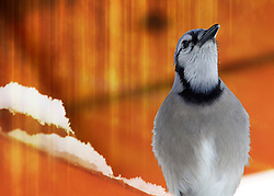 This blue jay was resting under a heat lamp on a cold and snowy winter day in my Missouri backyard. Having a pretty close vantage point I was able to get a dent amount of detail in the feathers of this lovely bird. A close look reveals the water droplets from the falling snow that has melted from the heat of the lamp.<br />