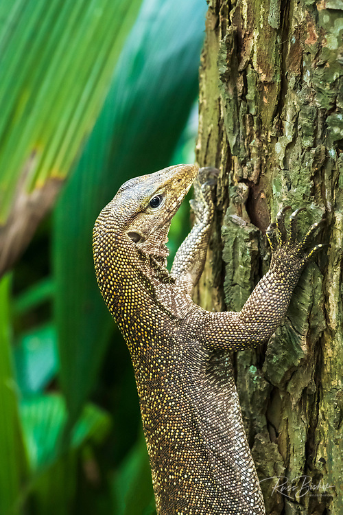 Clouded monitor lizard (Varanus nebulous), Singapore Zoo, Singapore, Republic of Singapore