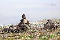 Arctic fox with pups, Somerset Island, Nunavut, Canada