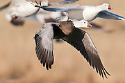 Snow Geese, Chen caerulescens, blue phase, Bosque del Apache NWR, New Mexico