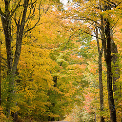Leaves fall from sugar maple trees lining a dirt road in Cabot, Vermont.
