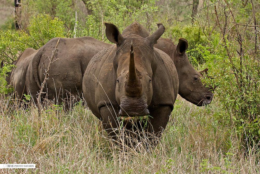 White Rhino feeding, South Africa