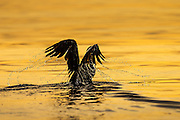 Cormorate in golden sea | Skarv i gullfarget sjø.