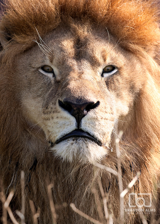 A male lion down in the Grass looking directly at the camera.