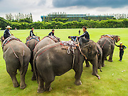 """28 AUGUST 2014 - BANGKOK, THAILAND: Elephants and mahouts at the King's Cup Elephant Polo Tournament at VR Sports Club in Samut Prakan on the outskirts of Bangkok, Thailand. The tournament's primary sponsor in Anantara Resorts. This is the 13th year for the King's Cup Elephant Polo Tournament. The sport of elephant polo started in Nepal in 1982. Proceeds from the King's Cup tournament goes to help rehabilitate elephants rescued from abuse. Each team has three players and three elephants. Matches take place on a pitch (field) 80 meters by 48 meters using standard polo balls. The game is divided into two 7 minute """"chukkas"""" or halves.     PHOTO BY JACK KURTZ"""