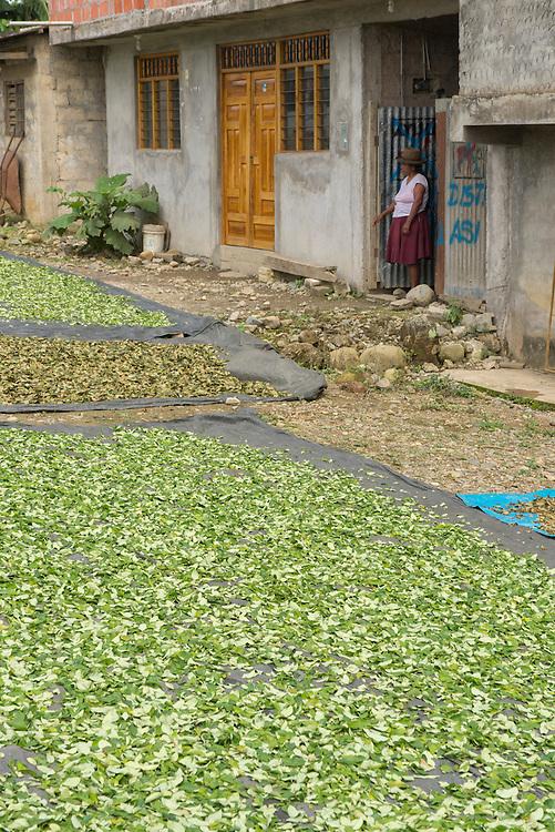 South America; Peru; Amazonia; Manu; woman drying coca leaves