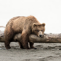 The grizzly was a paradox. Attacked in the wild by man it was a deadly adversary, yet when left alone and with an abudant and consistent supply of food resources, it could be as docile as a sheep.