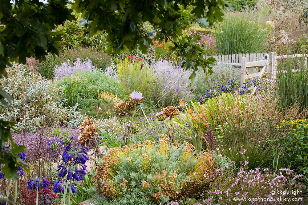 View of the autumn garden at Marchants from under an oak tree. Planting includes Artichoke 'Gros Vert De Laon', Agapanthus inapertus, grasses and perovskia