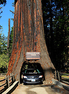 A car passing through the Chandelier Redwood tree along highway 101 in Northern California...