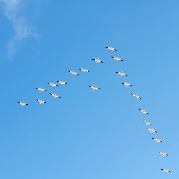 """Snow Geese (Chen caerulescens)  in a classic """"V"""" formation, Central Montana"""