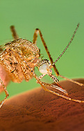 Anopheles Mosquito Sucking Blood from Human - (EM Style)