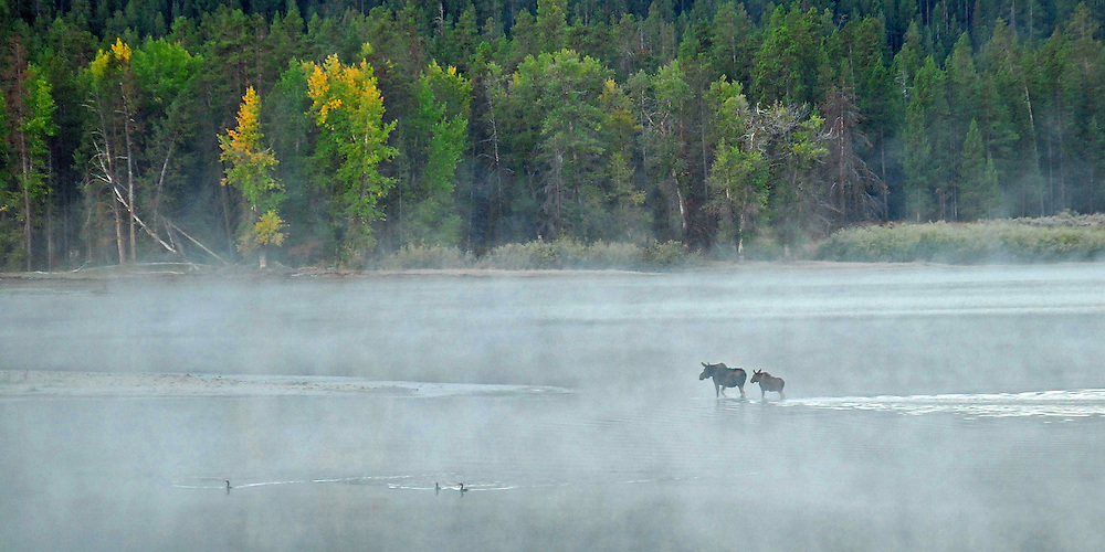 In the early morning mist, moose cow and calf cross the shallow waters of the Oxbow Bend of the Snake River in Grand Teton National Park.