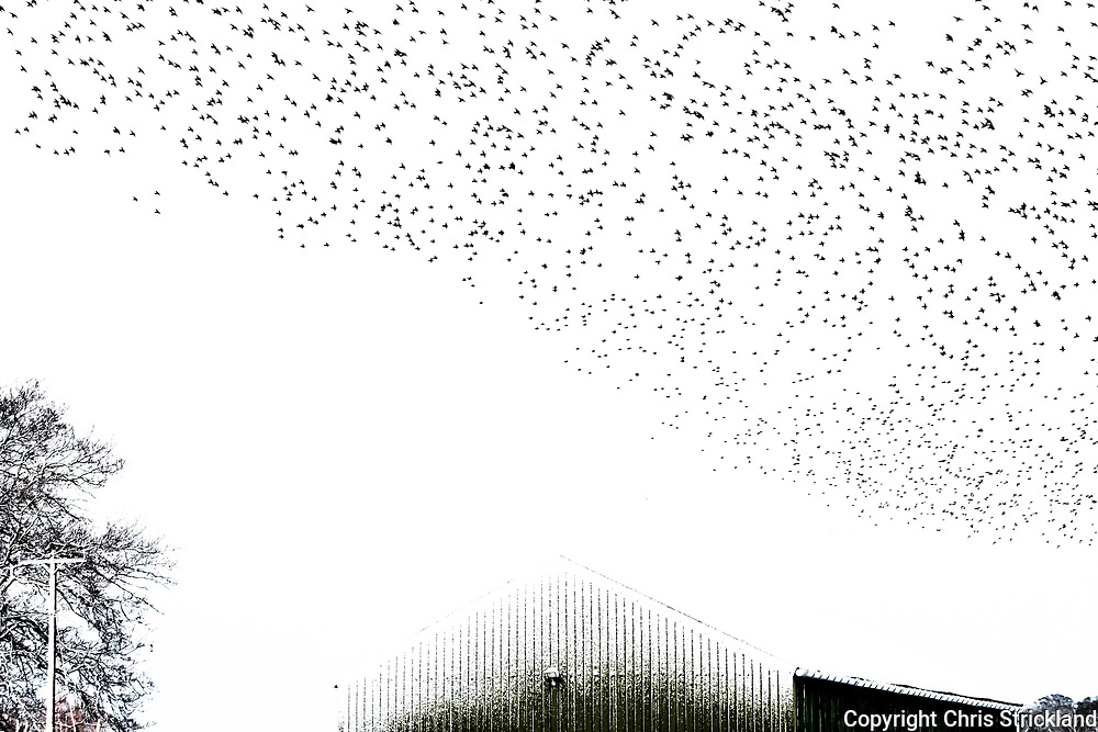 A flock of starlings perform a murmuration prior to roosting over Oxnam village in the Scottish Borders.