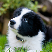 Dig the cute 9-week old Border Collie puppy.