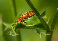 HALFWEG - insecten op de golfbaan , rood soldaatje , Amsterdamse Golf Club. (AGC)  . Insecteninventarisatie  COPYRIGHT KOEN SUYK
