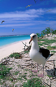 Albatross bird, Midway Island, N.W. Hawaiian Chain<br />