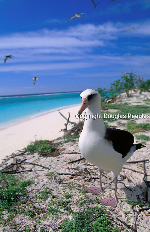 Albatross bird, Midway Island, N.W. Hawaiian Chain<br />