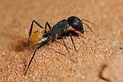 Die Namib Dünen-Ameise (Camponotus detritus) lebt in Staaten von mehreren tausend Individuen, die gemeinsam zwischen den Wurzeln von kleinen Büschen in der Sandwüste ihre unterirdischen Nester graben. Die über einen Zentimeter großen, auffälligen Tiere sind tagsüber aktiv und rennen, getragen von ihren langen Beinen, sehr schnell über den heißen Wüstensand. Meist laufen sie zielstrebig zum nächsten pflanzenbewachsenen Fleckchen, oft zu den großen Büscheln des Dünengrases, wo sie nach Nahrung suchen. Treffen sie dabei auf Dünen-Ameisen eines anderen Staates fangen diese wehrhaften und sehr aggressiven Tiere sofort an zu kämpfen. Zuweilen findet man, offenbar an den Grenzen zwischen benachbarten Territorien, im Sand eine ganze Linie von toten Ameisen. | Namib desert dune ant (Camponotus detritus) nests are simple structures excavated among the roots of perennial vegetation in the sand dunes of the Namib Desert. They comprise a series of tunnels and chambers 100–400 mm deep, often lined with detritus. No royal chamber or food stores were found. Brood was found throughout the nest, throughout the year. Nest temperatures varied considerably. Mean nest temperatures were about 32°C in summer and 20–23°C in winter. The number of workers per nest varied from 218 to 16,000 with a mean and standard error of 3,404±570. Each colony comprised one to four nests. Only one nest per colony housed queens. Colony expansion and nest relocation occurred frequently.