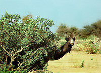 Niger, Agadez, Tidene, 2007. Making use of the shade, a wild camel observes his domesticated kin at work near the well.
