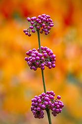 The berries of Callicarpa. Beauty berry