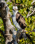 Osprey perched in mangrove forest, looking down intently  © 2015 David A. Ponton