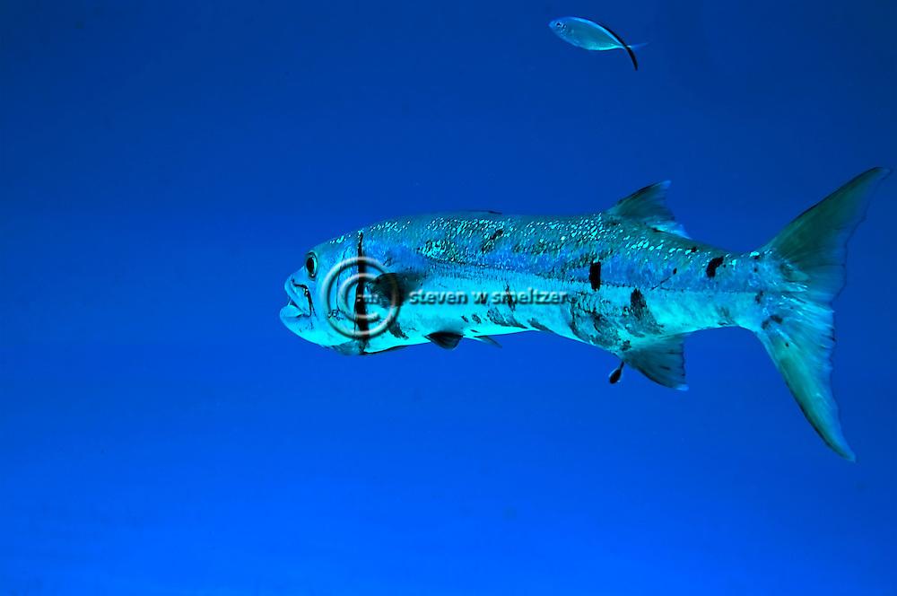 Barracuda, Sphyraena barracuda, Grand Cayman