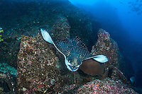 An Eagle Ray swoops downward along a reef slope<br /> <br /> <br /> Shot at Cocos Island, Costa Rica