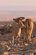 female and young Nubian Ibex (Capra ibex nubiana), at sunrise. Photographed on the edge of the Ramon crater, Negev Desert, Israel