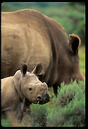Month-old baby white rhino looks up from thick bush as mom grazes @ Shamwari Game Reserves; E Cape South Africa
