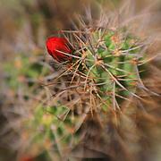 Cacti - Lensbaby - Joshua Tree National Park