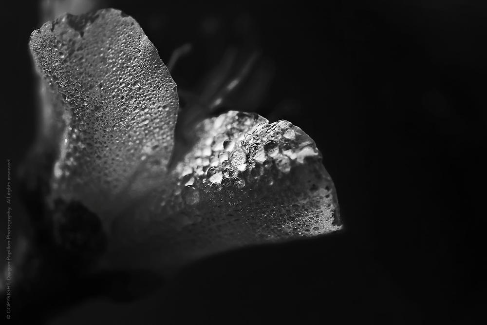macro photography: black & white with dew drops encasing petals