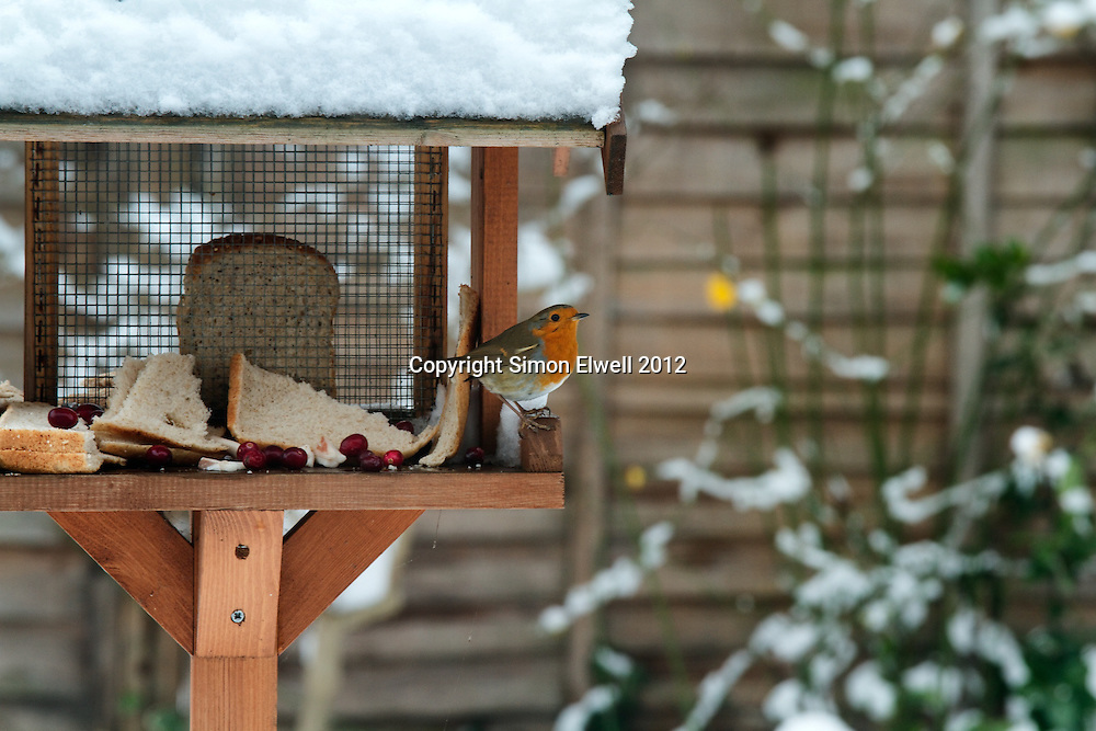 Robin on garden bird table in snow with berries