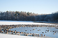 00748-05615 Canada Geese (Branta canadensis) flock on frozen lake,  Marion Co, IL