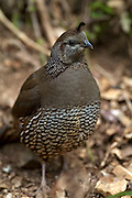 The California Quail or Valley Quail (Callipepla califonica) was introduced to New Zealand in the 1800s. While not native to New Zealand, this female California Quail is a resident at Wellington's Karori Sanctuary (Zealandia).
