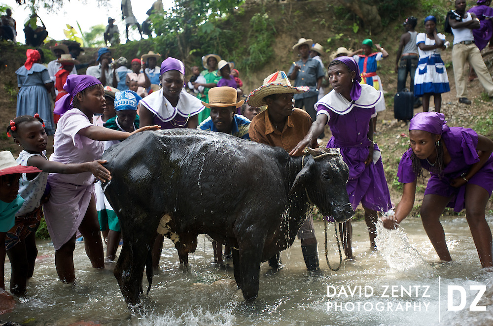A group of pilgrims who traveled to the festival together bath a bull at the base of the waterfall in preparation for its sacrifice. Until recent years the sacrifices - made as offerings to gain favor with specific lwas, or spirits - were performed at the falls, but now must be performed off site.