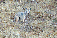 A coyote looks for prey on a hillside allowing him/her to blendinto his environment