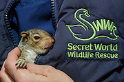 Grey Squirrel (Sciurus carolinensis)<br /> Secret World Wildlife Rescue Center<br /> Somerset<br /> England<br /> UK<br /> captive