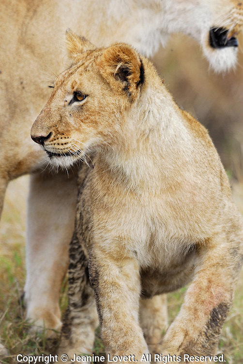 Close-up view of wild lion cub with walking under his mothers neck.