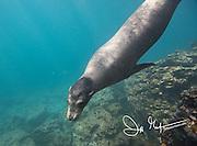 A Galapagos sea lion swims underwater off the coast of Rabida island, Galapagos islands, Ecuador.