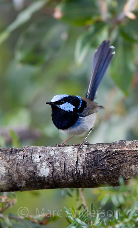 Adult male Superb Blue Fairy Wren (Malurus cyaneus) in breeding plumage, NSW, Australia