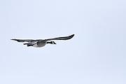 Canada goose - Branta canadensis -  in flight<br /> Winnipeg<br /> Manitoba<br /> Canada