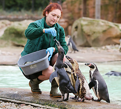 © Licensed to London News Pictures. 03/01/2019. London, UK. A London Zoo keeper with Penguins during the annual stocktake at London Zoo. London Zoo undertakes its annual stocktaking which is carried out at the the start of each year. Every animal in London Zoo is weighed and measured and the statistics is shared with other Zoos across the world.  Photo credit: Dinendra Haria/LNP