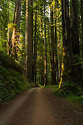 Prairie Creek Redwoods State Park, Redwood Trees, California