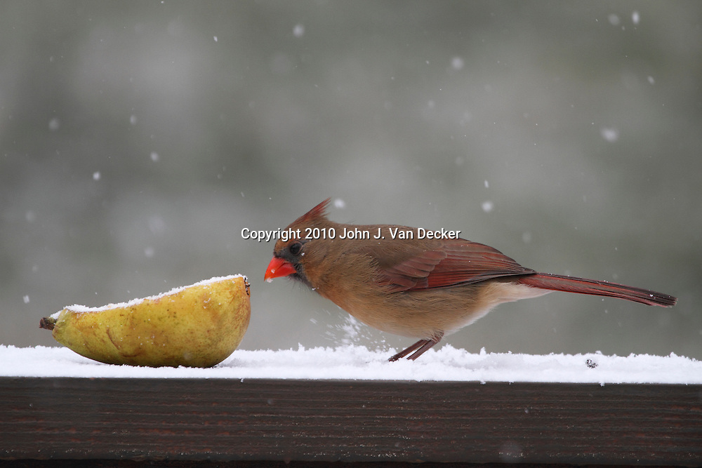 Northern Cardinal female, Cardinalis cardinalis, ready to eat a pear in the snow. New Jersey, USA.